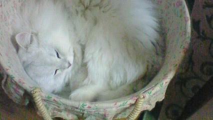 この猫仔猫-バニラ524-