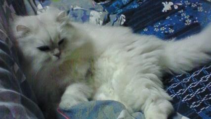 この猫仔猫-バニラ531-