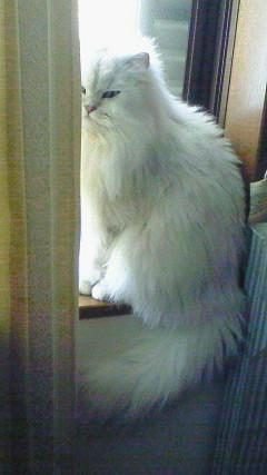 この猫仔猫-バニラ536-