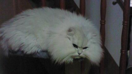 この猫仔猫-バニラ535-