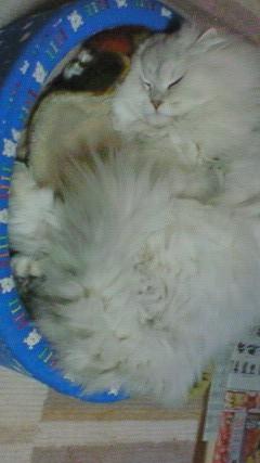 この猫仔猫-バニラ539-