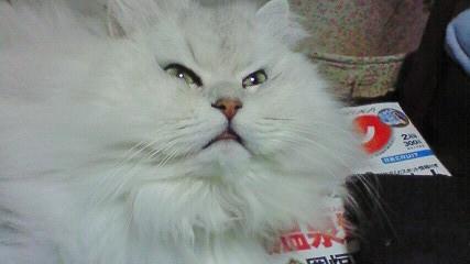 この猫仔猫-バニラ542-