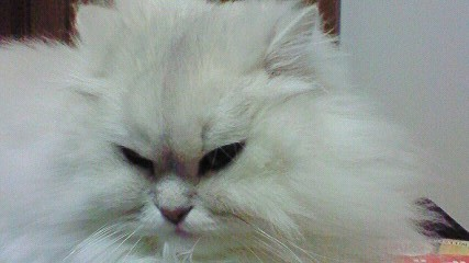 この猫仔猫-バニラ543-