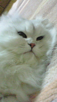 この猫仔猫-バニラ546-