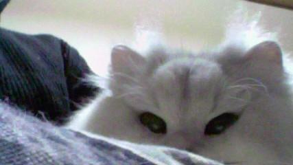 この猫仔猫-バニラ550-