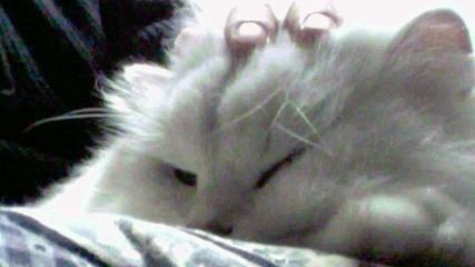 この猫仔猫-バニラ552-